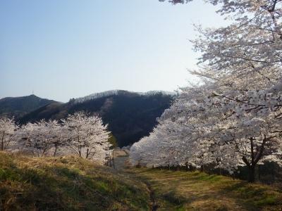 山の上の桜 (5)