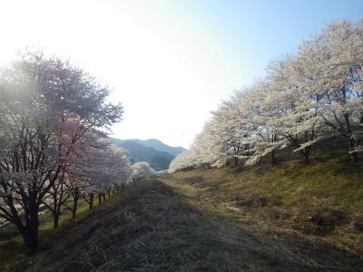 山の上の桜 (10)