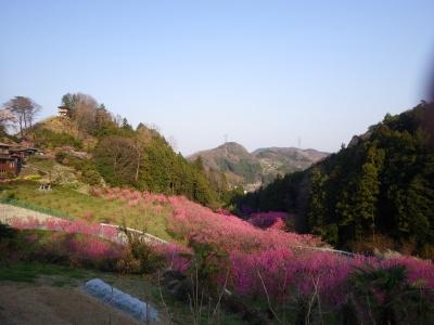 山の上の桜 (11)