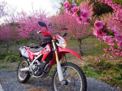 山の上の桜 (13)
