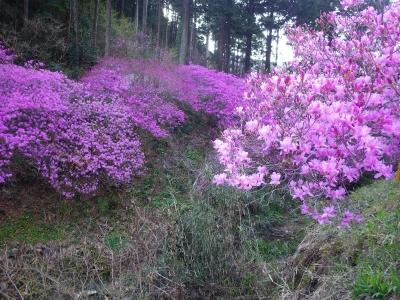山の上の桜 (14)
