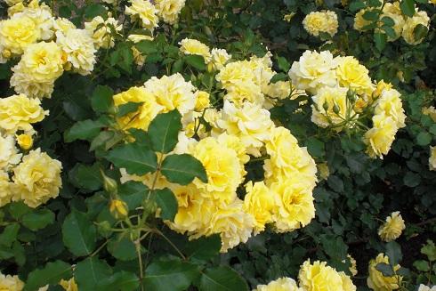 バラ 黄色群衆