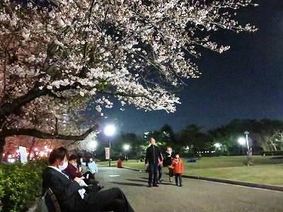ベンチから見た夜桜