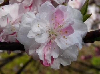 P1180717花桃の里5