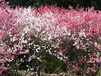P1180735花桃の里12