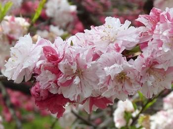 P1180754花桃の里15