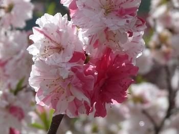 P1180753花桃の里14