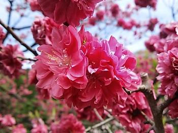 DSC_2688花桃の里26