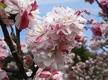 DSC_2684花桃の里