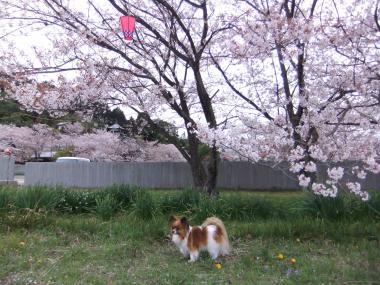 桜とラブ1