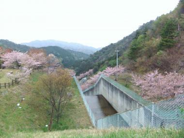 放流口の桜