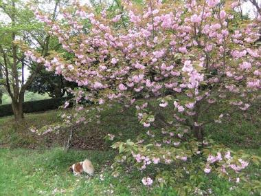 ラブと八重桜