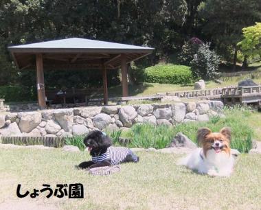 菖蒲園ダウン