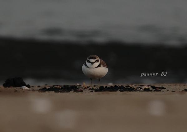 シロチドリ