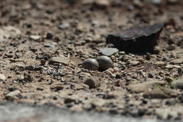 コアジサシの卵