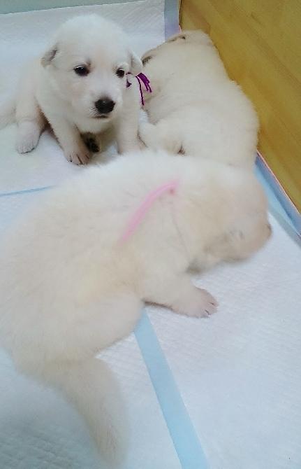 6月2日生まれのホワイトスイスシェパード子犬