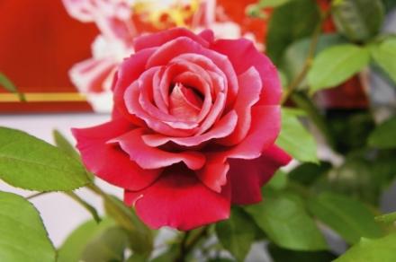 roze 8