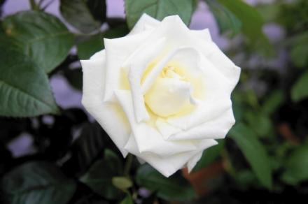 roze 9