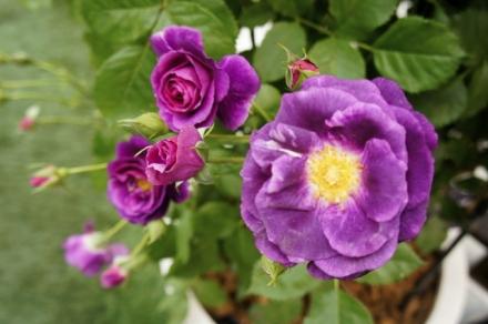 roze 4