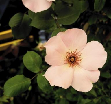 roze 5