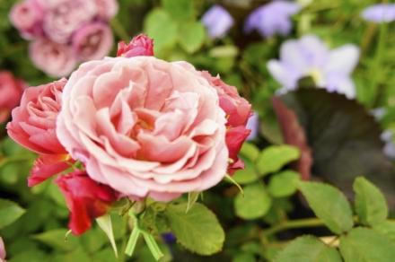 roze 6