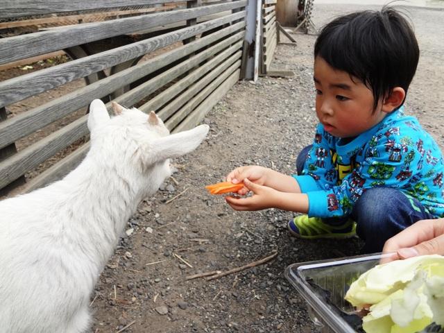 山羊の餌やり
