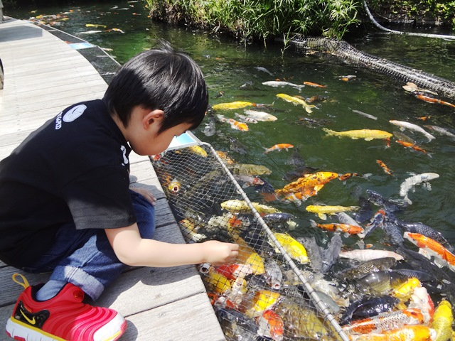 鯉の餌やりをする陸ちゃん