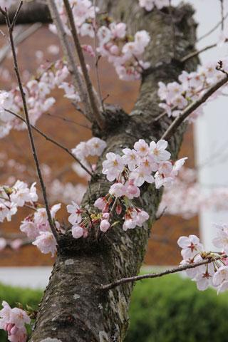 1403梅みたいな桜