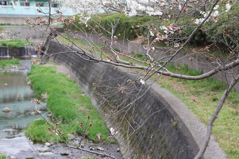 1403ここの桜はまだまだ