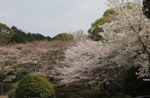1403美術館裏手の桜