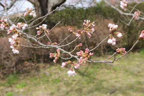 1403つぼみがちの桜