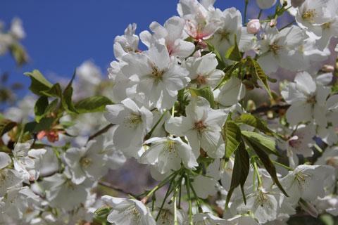 1404桜の中へ