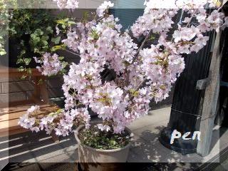 借り物桜2