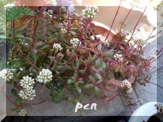 ベニチゴ花
