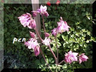 オダマキ紫1