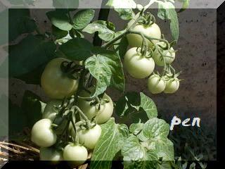 ハートのミニトマト1