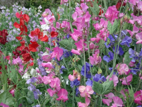 sweet pea growing