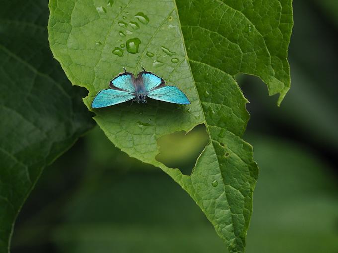 ジョウザンミドリシジミ:青の輝き