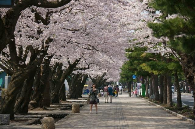 towadasakura14-0018.jpg