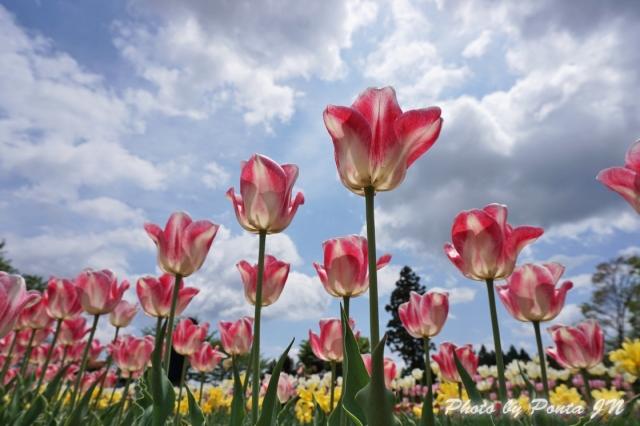 tulip14-0007.jpg