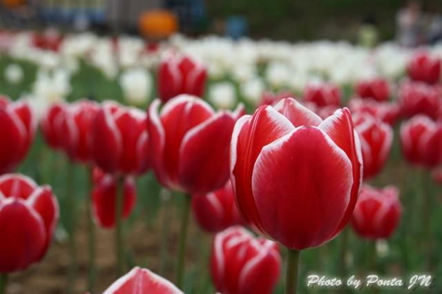 tulip14-0008.jpg