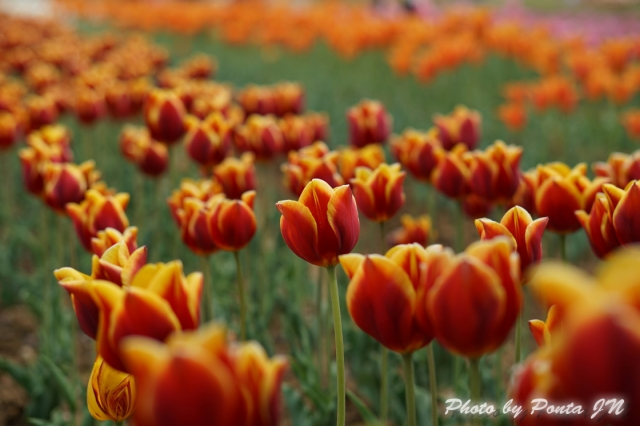 tulip14-0010.jpg