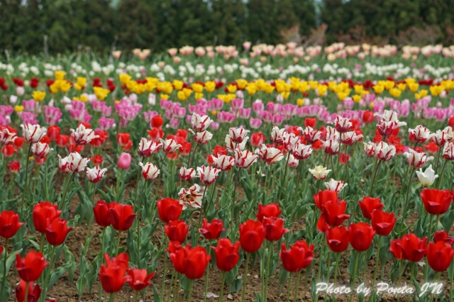 tulip14-0011.jpg