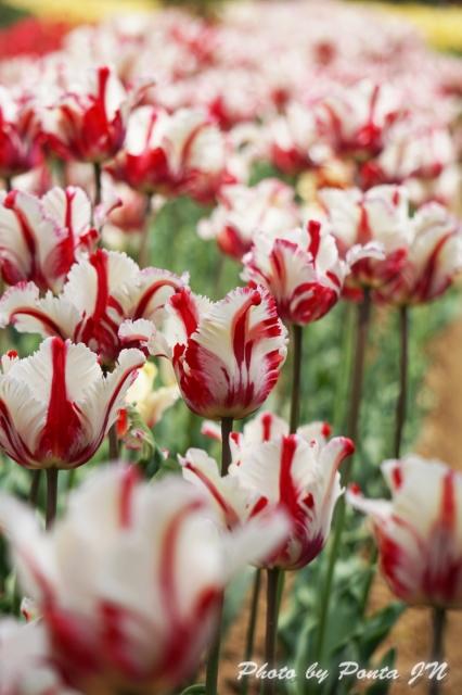 tulip14-0014.jpg