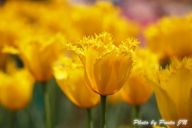 tulip14-0016.jpg