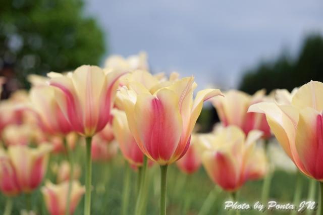 tulip14-0018.jpg