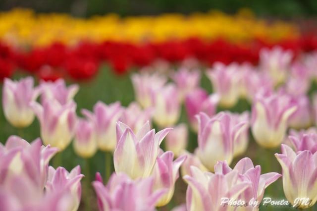 tulip14-0020.jpg