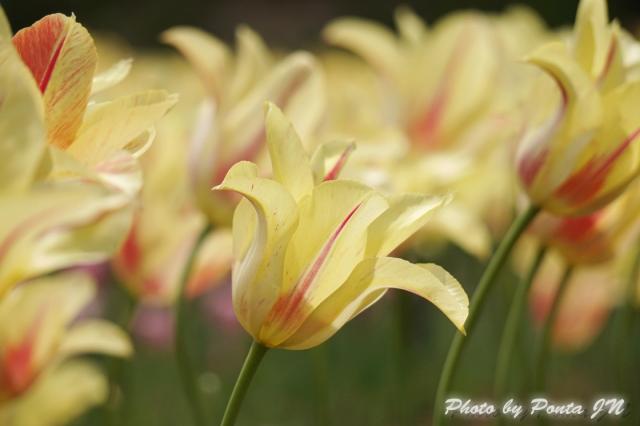tulip14-0021.jpg