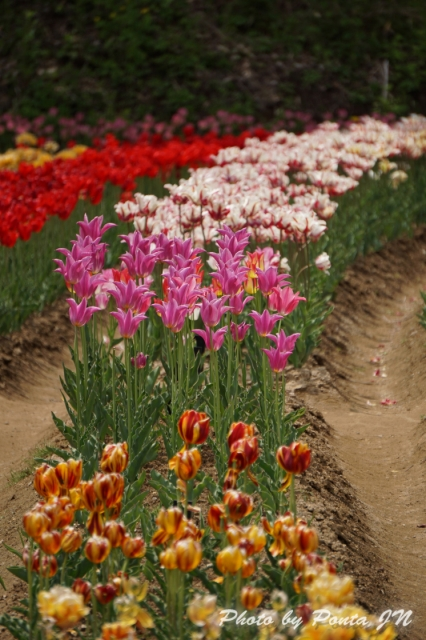 tulip14-0023.jpg