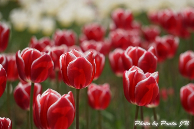 tulip14-0024.jpg